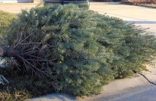 Christmas-tree-at-curb-for-recycling